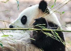 sans titre-55 (cptok) Tags: pairidaiza brugelette rapaces panda vautours faucon