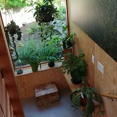#plantcorner #plants #houseplants #hangingplants #window #shelfie #modernhometour (Heath & the B.L.T. boys) Tags: instagram oregon portland houseplants shelves window plywood crate wateringcan