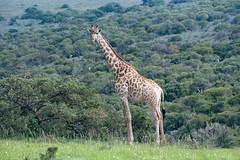Beautifully Tall and Free (zenseas) Tags: africa wild southafrica giraffacamelopardalisgiraffa volunteer amakhalagamereserve giraffe vacation workingholiday holiday workingvacation