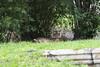 Sumatran tiger (Find The Apex) Tags: disney waltdisneyworld wdw disneyworld disneysanimalkingdom dak animalkingdom maharajahjungletrek sumatrantiger tiger