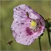 Le forum: un admin arrive à la rescousse (JB89100) Tags: 2018 abeille coquelicots fleurs insectes moucherons stmartindt ou quoi