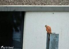 Faucon crécerelle 1 (jean-daniel david) Tags: oiseau volatile faucon fauconcrécerelle yverdonlesbains suisse suisseromande vaud rapace nature animal