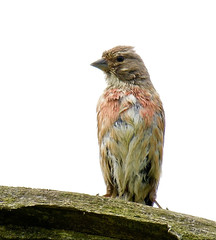 Linnet (Male) - Taken at Sywell Country Park, Sywell, Northamptonshire. UK. (Ian J Hicks) Tags: