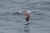 Lesser Black-backed Gull (graellsii) - 3CY- June - UK (Keith V Pritchard) Tags: 2ndsummer 3rdcalendaryear 3rdcycle dorset june larusfuscusgraellsii lesserblackbackedgull portlandbill uk gull laridae seagull