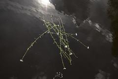 D in W (Phil3 (ex Bassapower)) Tags: bassapower phil3 daisy daisies flower water dark reflection pond sun light eau sombre flotte