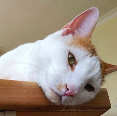 Ringo Chilling! (Lindsaywhimsy) Tags: cat indoors pet