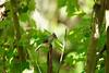 DSC00885.jpg (joe.spandrusyszyn) Tags: tuftedtitmouse orlando titmouse baeolophus vertebrate nature animal shinglecreekregionalpark songbird unitedstatesofamerica passeri bird florida shinglecreek paridae perchingbird byjoespandrusyszyn baeolophusbicolor passeriformes