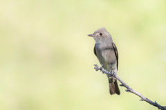 Western Wood-pewee (gilamonster8) Tags: bokeh landscape lakesidepark canon ngc animal 5dmarkiv perched tucson flycatcher perch bird naturetop flickr arizona eos ef400mmf56lusm green gray
