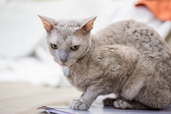 Karolina (1) (toriasoll) Tags: cat cornishrex cornish cornishcat cornishrexcat curlycat