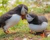 Loved up Puffins (warren hanratty) Tags: wildbird skomer warrenhanrattyphotography fraterculaarctica skomerisland pembrokeshire puffin nature