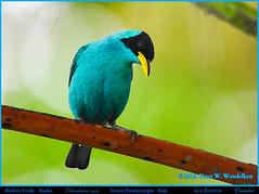 GREEN HONEYCREEPER Male Chlorophanes spiza in Los Bancos in Northwestern Ecuador. Photo by Peter Wendelken. (Neotropical Pete) Tags: greenhoneycreeper greenhoneycreepermale greenhoneycreeperinlosbancos mieleroverde chlorophanesspiza chlorophanes thraupidae ecuadorhoneycreepers southamericanhoneycreepers ecuadorbirds southamericanbirds neotropicalbirds losbancosbirds aves pichinchaprovince sanmigueldelosbancos ecuador photobypeterwendelken peterwendelken ngc npc