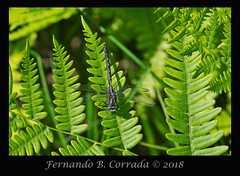 Rapids Clubtail (8066) (fbc57) Tags: vermont bristol beavercreek sigma180f28apomacroexdgos nikond850 gomphidae anisoptera clubtails dragonflies rapidsclubtail gomphusquadricolor
