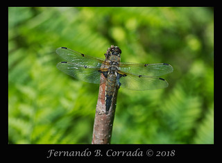 Four-spotted Skimmer (8028)