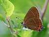 Black Hairstreak (ArtFrames) Tags: blackhairstreak butterfly salceyforest egg laying sun papillon tails female satyrium pruni lycaenidae insects british panasonic g9