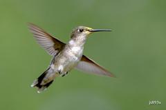 Ruby-throated Hummingbird (jt893x) Tags: 150600mm archilochuscolubris bif bird d500 hummingbird jt893x nikon nikond500 rubythroatedhummingbird sigma sigma150600mmf563dgoshsms thesunshinegroup coth alittlebeauty coth5 sunrays5 ngc npc