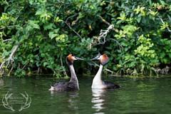 _DSC6695 (Bartek Olszewski) Tags: grebe birds ducks nature nikon nikond4s natureperfectionthernature perkoz wildlifephotography water