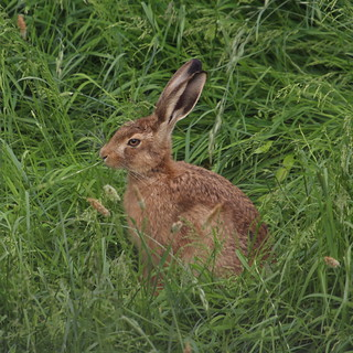 Hare feeding on the long meadow grass