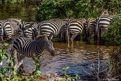 2017.06.23.2941 Zebra (Brunswick Forge) Tags: 2017 safari grouped africa tanzania serengeti nature wildlife commented favorited