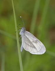 Wood White (KHR Images) Tags: woodwhite leptideasinapis butterfly forestofdean wildlife nature insect macro nikon d500 105mm kevinrobson khrimages