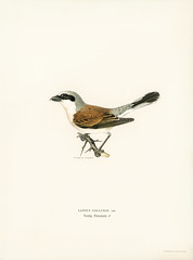 Red-backed Shrike male (Lanius collurio) illustrated by the von Wright brothers. Digitally enhanced from our own 1929 folio version of Svenska Fåglar Efter Naturen Och Pa Sten Ritade. (Free Public Domain Illustrations by rawpixel) Tags: photo publicdomain otherkeywords abstract america ancient animal antique artwork bird cc0 creativecommon0 creativecommons0 drawing handdrawing illustration laniuscollurio name northamerica old painting redbackedshrikemale shrike sitting species style texture vintage vonwright vonwrightbrothers wild wildlife