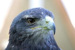 Kordillerenadler Artemis/ Black-chested buzzard-eagler (aspo_remscheid) Tags: aguja kordillerenadler adler eagle skyhunters blaubuzzard
