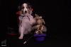 24/52 The Great Hairy Houdini (Jasper's Human) Tags: 52weeksfordogs 52wfd aussie australianshepherd dog magic illusion houdini rabbit hat trick