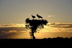 _DSF0738 (manomesa) Tags: fuji fujinon55200 fujifilmxh1 aves cigüeñas nido contraluz sevilla andalucia españa atardecer