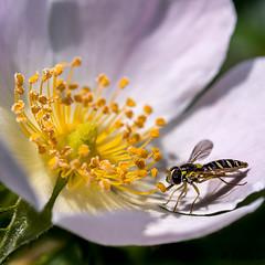 Au boulot... (Shoot Enraw) Tags: pollinisateur fleur macrophotographie sigma nature 10500mmf28 syrphe pollen jaune
