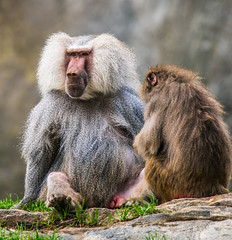 Baboons (JuanJ) Tags: nikon d850 lightroom art bokeh nature lens light landscape white green red black pink sky people portrait location architecture building city iphone iphoneography square squareformat instagramapp shot awesome supershot beauty cute new flickr amazing photo photograph fav favorite favs picture me explore interestingness wedding party family travel friend friends vacation beach zoo northcarolina usa animal ashboro animals baboon