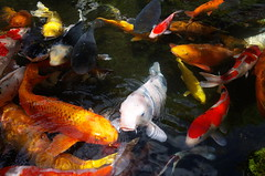 Colored Carps (seiji2012) Tags: 鯉 魚 fish koi nishikikoi japan 五日市