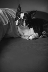 A black and white portrait of a cute one year old Boston Terrier resting on a bed with a big pillow. (pedroferr) Tags: portrait bostonterrier friend inside americangentleman resting young canine animal small indoors pillow breed eyes puppy pet lying house dog black bw domestic blackandwhite cute bed