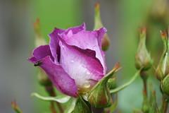DSC_0024 (PeaTJay) Tags: nikond750 sigma reading lowerearley berkshire macro micro closeups gardens outdoors nature flora fauna plants flowers bouquet rose roses rosebuds
