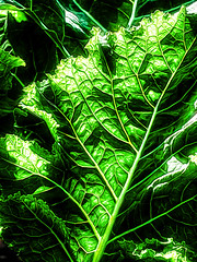Ambiguos Greens (Steve Taylor (Photography)) Tags: veins digitalart green yellow white closeup macro newzealand nz southisland canterbury christchurch northnewbrighton vegetable leaf leaves lines texture broccoli