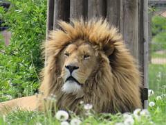 IMG_0139 (duncansmith50) Tags: yorkshirewildlifepark lions polar bears black rhino tigers giraffes doncaster