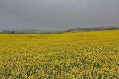 Senf (Wunderlich, Olga) Tags: nebel dunst senf gelb insel rügen mönchgut landschaft hügel