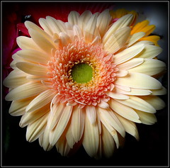 Natural Wonder (dimaruss34) Tags: newyork brooklyn dmitriyfomenko image flower gerbera