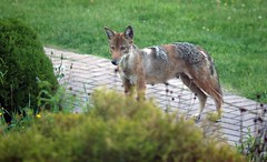 coyote visit (1) (Ange 29) Tags: coyote side yard olympus omd em1 1435mm zd king township canada