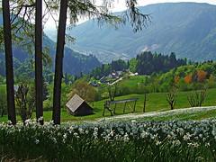 Narcissus fields below the Golica (Vid Pogacnik) Tags: slovenija slovenia karawanks karavanke karawanken outdoors hiking landscape mountain golica narcissus meadow plavškirovt spring