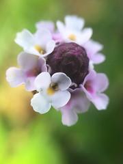 Wildflower (Mellisapix) Tags: flower macrophotography macro purple jamaican pink petals jamaica flora wildflower