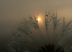 Pretty Foggy..x (Lisa@Lethen) Tags: fog weather nature spring scotland pretty dandelion wild flower seed water droplets macro
