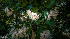 Eine Schönheit im Park (gabimartina) Tags: cottbus natur landschaft lausitz park pflanzen blüten