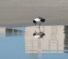 Laughing seagull (galsafrafoto) Tags: bird laughingseagull seagulls animals beach southcarolina myrtlebeach nature reflections