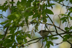 Horicon Marsh Bird Festival 2018 (turn off your computer and go outside) Tags: 2018birdfestival birdingtheoldmarshroad horiconmarshnwr may wi wisconsin bird critter nature outdoors overcastday spring unidentifed