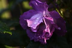 DSC_0108 (PeaTJay) Tags: nikond750 sigma reading lowerearley berkshire macro micro closeups gardens outdoors nature flora fauna plants flowers rose roses rosebuds raindrops leaves foliage
