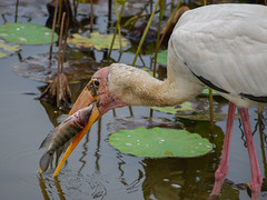 Milky stork feeding on fish in lotus pond (Robert-Ang) Tags: predator prey fish milkystork stork bird animal nature wildlife lotus pond japanesegarden singapore animalplanet
