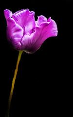 Tulip Purple (Tony Shertila) Tags: chester dunhammassey england animals britain building cheshire chesterzoo deer estate europe family floral flower henry nationaltrust outdoor rose ©2018tonysherratt greatermanchester unitedkingdom tulip