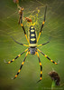 Nephila senegalensis - Gorongosa National Park, Mozambique (Thomas Shahan 3) Tags: pentax gorongosa mozambique bugshot workshop africa k3 macro macrophotography vivitar 55mm teleconverter entomology arthropod wildlife