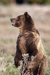 Bear Aware (RH Miller) Tags: rhmiller reedmiller wildlife bear grizzlybear sowgrizzlybear grandtetonnationalpark wyoming usa standinggrizzlybear