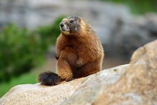Marmot Sitting