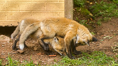 IMGL1410 (Wallace River) Tags: foxes novascotia pugwashfoxes redfoxes